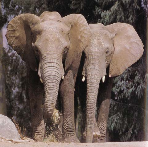 http://www.ancientbattles.com/elephants/african_elephant_wild_animal_park.jpg